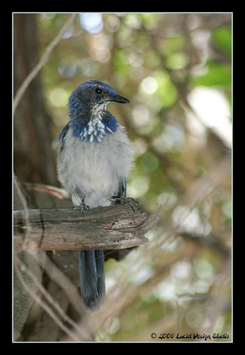 Post Your Bird Images Here!!!!!!!-scrubjay1_rt8.jpg