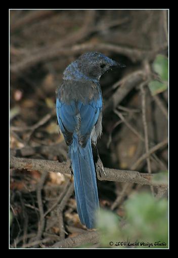 Post Your Bird Images Here!!!!!!!-scrubjay2_rt8.jpg