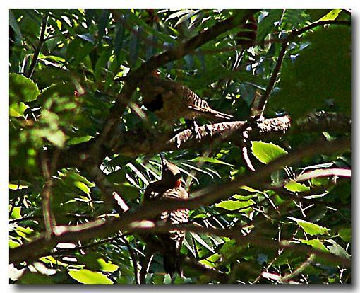 Post Your Bird Images Here!!!!!!!-northern-flicker-.jpg