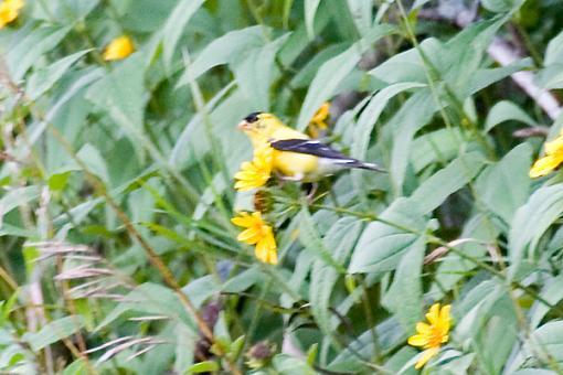 Post Your Bird Images Here!!!!!!!-crw_7006.jpg