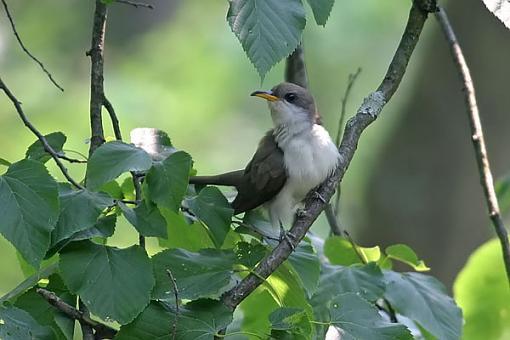 Post Your Bird Images Here!!!!!!!-cuckooa.jpg