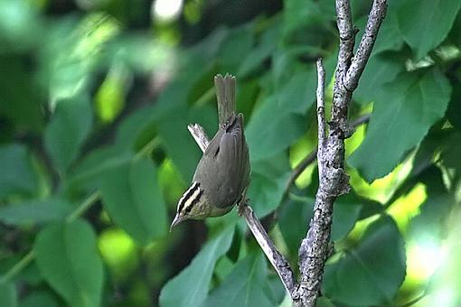 Post Your Bird Images Here!!!!!!!-wrmwrblra.jpg