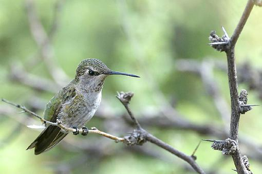 Post Your Bird Images Here!!!!!!!-c38d5106-f..hummer.jpg