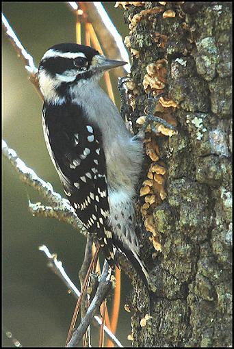 Post Your Bird Images Here!!!!!!!-downy.jpg