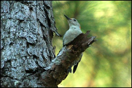 Post Your Bird Images Here!!!!!!!-wood1.jpg