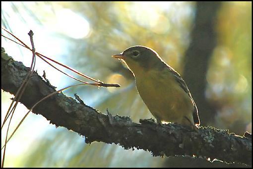 Post Your Bird Images Here!!!!!!!-pine_warbler.jpg