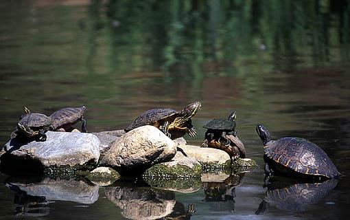 I know: Let's all post a summer pic.-turtles.jpg