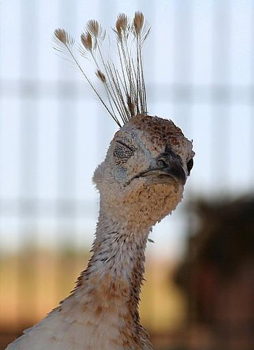 Fun animal shots from our zoo visit-peahen.jpg
