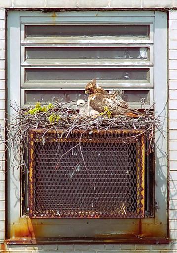 Urban Development (Attention Megan)-queens-hawk-chick-500w.jpg