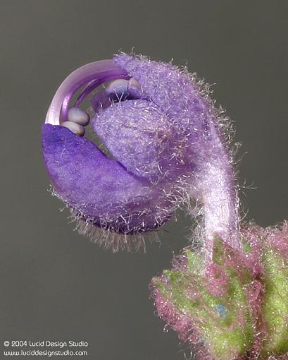 Stepping out of program mode...-purple-sage-bud1.jpg