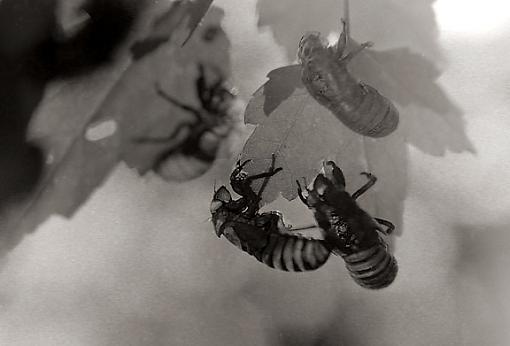 Cicadas-cicadas1.jpg
