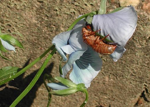 Cicadas-cicadas2.jpg