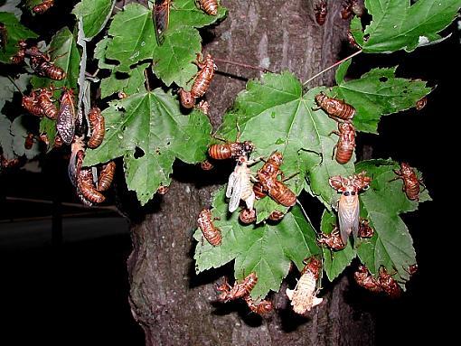 Cicadas-cicadas.jpg