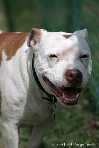 dog days-pitbull.jpg