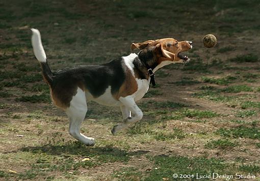 dog days-beagle.jpg