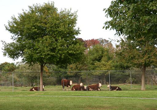The Fall 24 Hours!  Saturday October 7th-cows-int-10-7.jpg