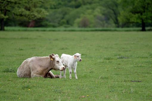 A couple from over the weekend-calf.jpg