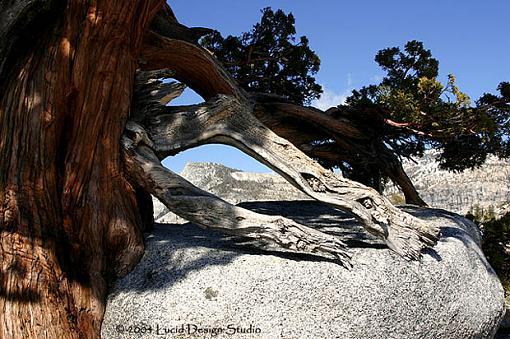 Official Yosemite Gathering Photos-incense_cedar.jpg