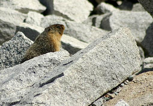 Official Yosemite Gathering Photos-marmot.jpg