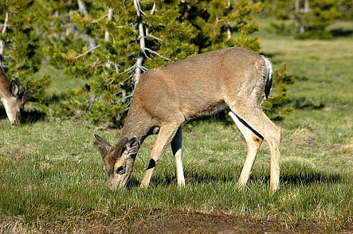 Official Yosemite Gathering Photos-deer-0168.jpg