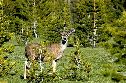Official Yosemite Gathering Photos-deer-0183.jpg