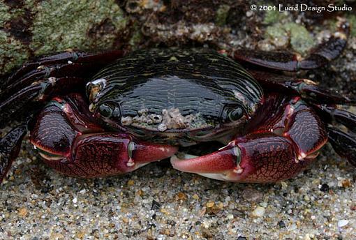 Morning rest-crab.jpg