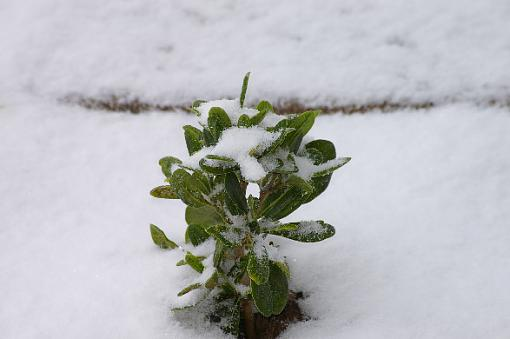 To Quote OT: April in West Texas-snowy-shrub.jpg