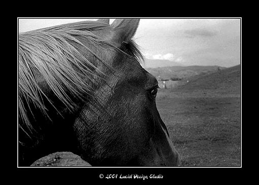 Canonet GIII QL17 and Ilford FP4+ in Rodinal-horse1.jpg