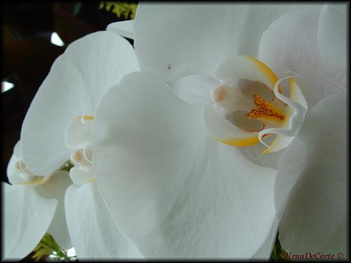 Conservatory of Flowers- San Francisco-white-orchids-small.jpg