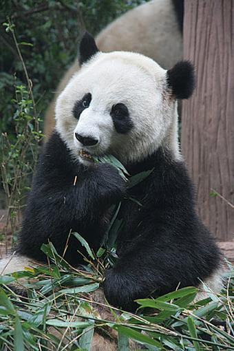 Big Trouble in Big China-panda01.jpg