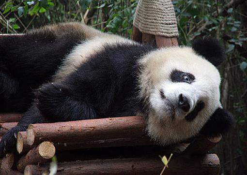 Big Trouble in Big China-panda02.jpg