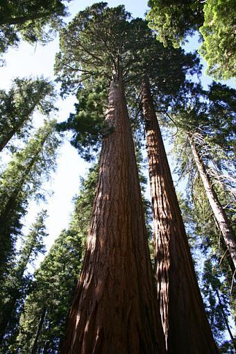 First of Yosemite pics...-bigtree.jpg