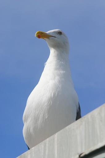 Post your bird pictures here ...-seagull.jpg