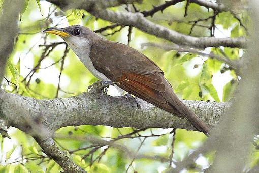 Post your bird pictures here ...-cuckoo.8.jpg