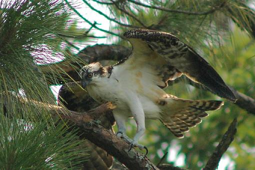 Post your bird pictures here ...-osprey_15.jpg