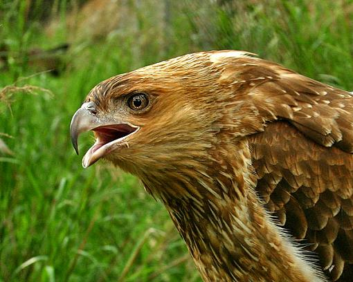 Post your bird pictures here ...-little_eagle.jpg