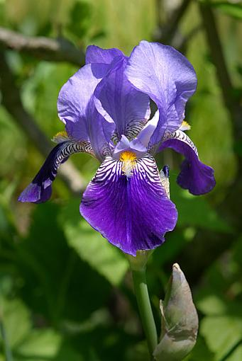 Mom's Iris-dsc_4988-2-640.jpg