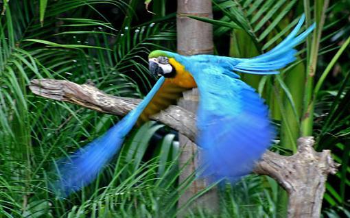 Post your bird pictures here ...-blue-flight.jpg