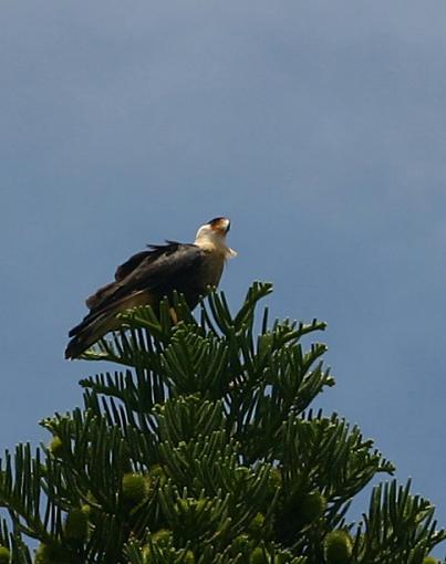 Post your bird pictures here ...-caracara3.jpg