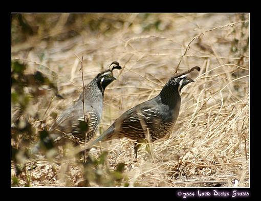 Post your bird pictures here ...-quail.jpg
