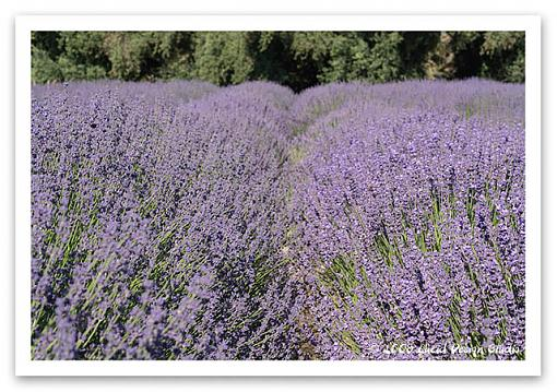 Lavender and Cherry Festival time-lav2.jpg