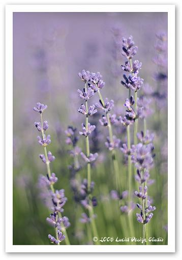 Lavender and Cherry Festival time-lavfest3.jpg