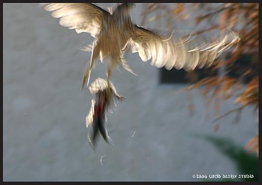 Post your bird pictures here ...-hawk2.jpg