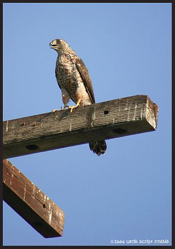 Post your bird pictures here ...-hawk1.jpg