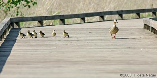 Got any funny or weird pics?-duck-crossing-1.jpg