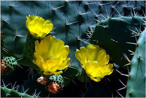 Shadows tell time-cacti-extreme-blooms_critiquedsc_6692.jpg