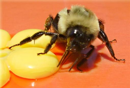 Busy Bee-hpim9853.jpg