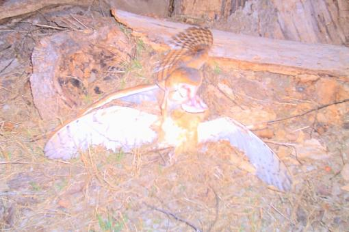 Night Time Work-two-barn-owls.jpg