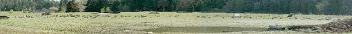 Spring has finely arrived-geese_at_norma1_resized.jpg