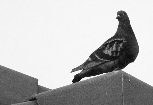flying rats-pigeon800.jpg